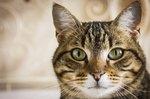 How Long Do Tabby Cats Live?