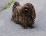 Types of Long-Haired Dogs