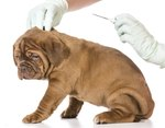 What Are the Side Effects of Microchipping a Dog?