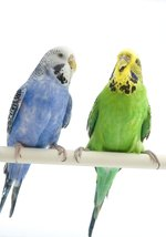 Why Do My Budgies Fight?