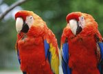 How to Tell a Female Parrot From a Male Parrot