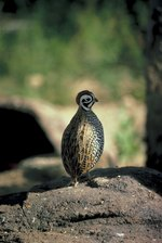 How to Build Quail Laying Pens