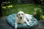 Hair Loss in Labrador Dogs