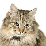 Cat Mites & Treatment