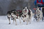 How to Raise a Wolf-Husky Dog Breed