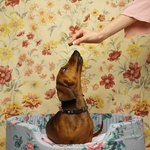What to Expect in a Dachshund Pregnancy?