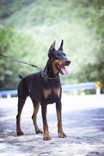 What Is the Difference Between a German Pinscher & Doberman Pinscher?