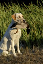 Top 10 Waterfowl Dog Breeds