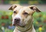 American Pit Bull Terrier vs. Boxer Dogs