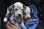 When Do Dalmatian Puppies Get Their Spots?