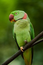 Diet for Alexandrine Parrots