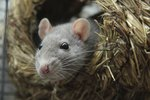 How to Decrease Pet Rat Odor