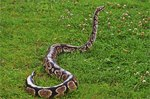 What Are the Characteristics of a Python Snake?