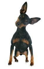Facts About Miniature Pinscher Dogs