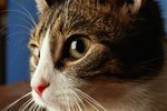 What Are the Causes of a Feline's Dilated Pupils?