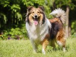 What Is the Difference Between a Collie & a Sheltie?