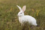 About Albino Rabbits