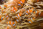 What Do Sea Anemones Eat?