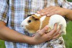How to Care for a Guinea Pig