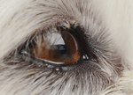 Crusty Eye Mucus in Dogs