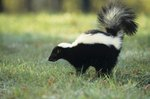 How to Instantly Remove Skunk Odor From a Dog