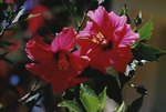 Are Hibiscus Plants Poisonous to Dogs?