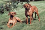 Pros and Cons of the Rhodesian Ridgeback
