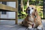 How to Support Older Dog's Weakening Legs