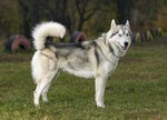 How to Tell if a Siberian Husky Is Part Wolf