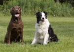 Border Collie & Lab Mix Information