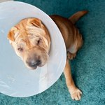 How to Care for a Dog After Spaying