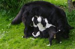 How to Care for a Lactating Dog
