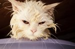 The Best Treatment for Lice on Cats