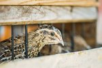 How to Raise a Baby Quail