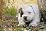 When Does an American Bulldog Stop Growing?