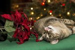 Are Poinsettias Poisonous to Cats?