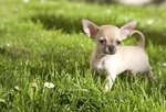 Signs of Hypoglycemia in Chihuahuas