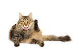 Symptoms of Hemorrhoids in Cats