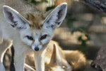 Can You Legally Own a Fennec Fox?