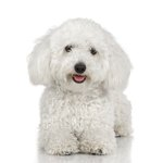 How to Groom a Bichon Frise's Face & Ears