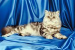 How to Mate a Persian Cat