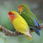 The Difference Between Male & Female Lovebirds