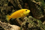 How to Tell the Difference Between Male & Female African Cichlids