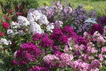 Is Phlox Dangerous to Pets?