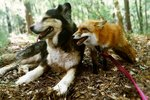 This Cute Fox Only Has Eyes For Her Hunky Dog Boyfriend