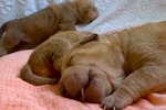 Scientists Probably Agree That These Sleeping Puppies Are Taking The Cutest Nap Ever