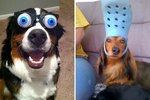 42 Hilarious Photos Of Animals Wearing Things They Should Not Be Wearing