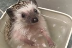 Bath Time With This Hedgehog Is Even More Fun Than It Sounds