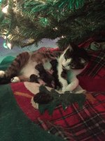 Festive Feline Gives Birth Beneath Christmas Tree In Time For Holidays