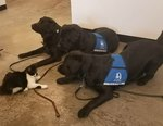 Bossy Kitten Terrorizes Service Dogs With Cuddles & Kisses